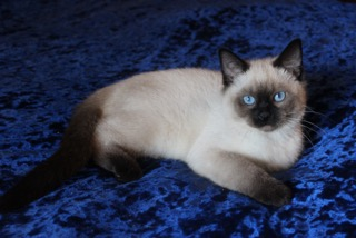 Siamese Kittens For Sale Balinese Kittens For Sale Home