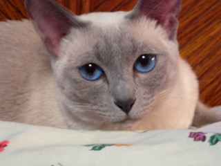 Siamese Kittens for Sale | Balinese Kittens for Sale | Home