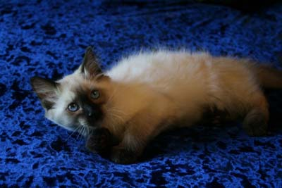 Siamese Kittens for Sale | Balinese Kittens for Sale